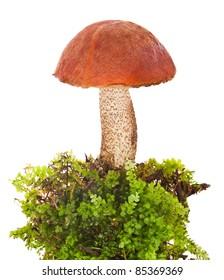 orange-cap boletus in moss