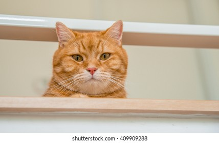 Orange/ginger American short hair cat looking down on up stair, laying ginger cat, ginger cat looking, ginger eyes cat, ginger cat sitting