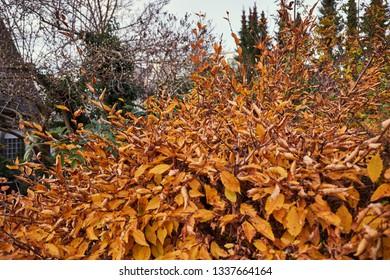 Orange-golden bush with dry leaves, autumn