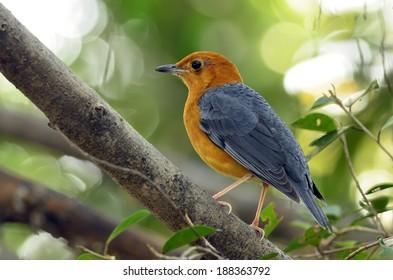 Orange-headed Thrush bird