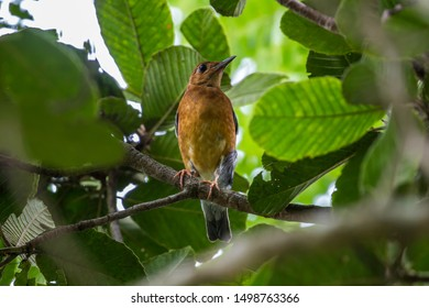 The orange-headed thrush is a bird in the thrush family. It is common in well-wooded areas of the Indian Subcontinent and Southeast Asia including Cambodia.