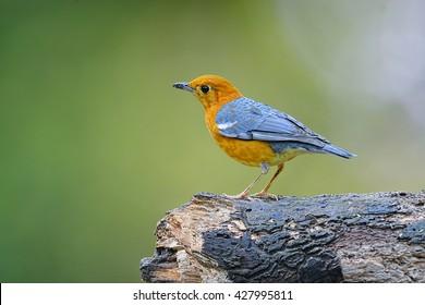 Orange-headed Thrush (Geokichla citrina)