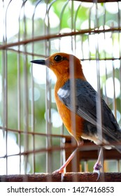 The orange-headed thrush (Geokichla citrina) is a bird in the thrush family.It is common in well-wooded areas of the Indian Subcontinent and Southeast Asia. Most populations are resident.