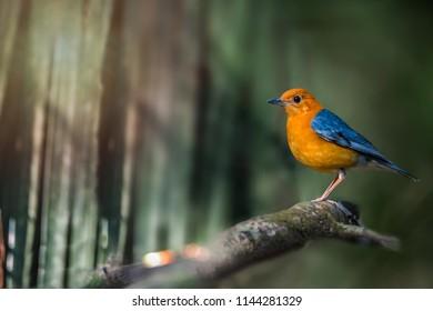 Orange-headed thrush (Geokichla citrina), male bird on perch. Orange-headed thrush