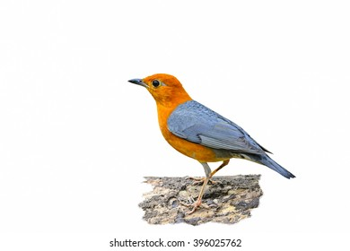 Orange-headed Thrush (Geokichla citrina)on the white background.