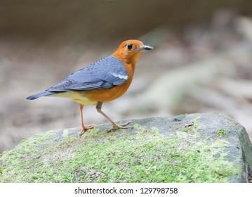 The Orange-headed Thrush (Zoothera citrina) is a bird in the thrush family.