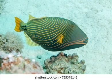 Orange-lined triggerfish, Balistapus undulatus