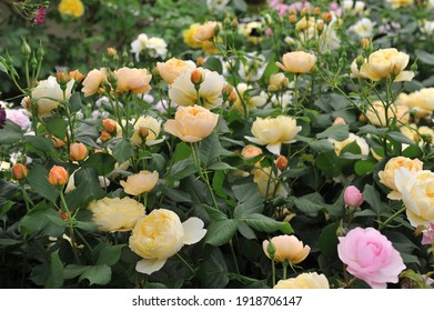 Orange-peach shrub English rose (Rosa) Roald Dahl blooms on an exhibition in May