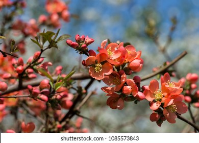 Orange-red flowers of Japanese quince. Blooming Maule's quince (Chaenomeles japonica)