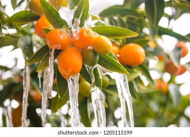 Oranges covered with ice and icicles in unusually cold winter