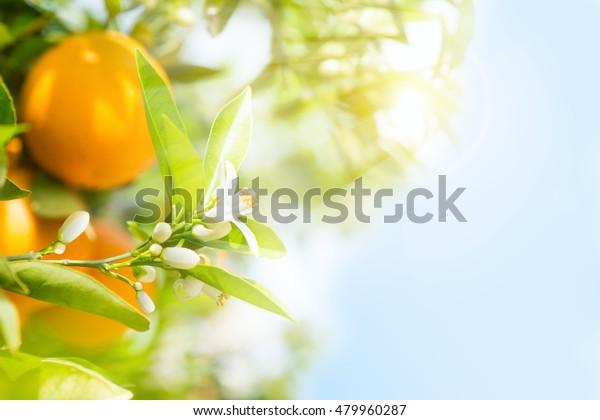 Апельсины фрукты и расцветают на деревьях в саду и солнечные лучи против голубого неба.