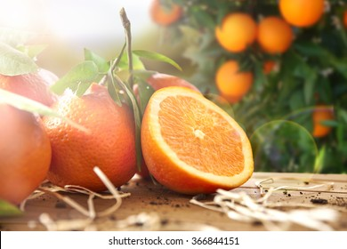 Oranges group freshly picked and section in a basket and on a brown wooden table in an orange grove. With a tree and garden background with afternoon sun. Horizontal Composition. Front view.