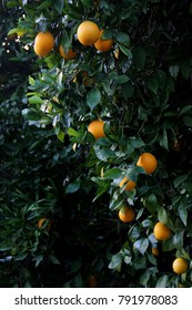Oranges growing in an grove