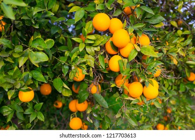 Oranges harvest on the plantation in the garden. Citrus trees with mandarins and lemons. Ripe fruits of lemons and oranges on the branches of a tree. Gardening in Cyprus.