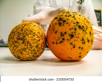Oranges infested with Amarelinho or CVC, Citrus Variegated Chlorosis, which is a disease caused by the bacterium Xylella fastidiosa in Laboratory