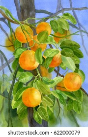Oranges on a Branch with Background.  Watercolor painting of orange fruit growing on a tree.