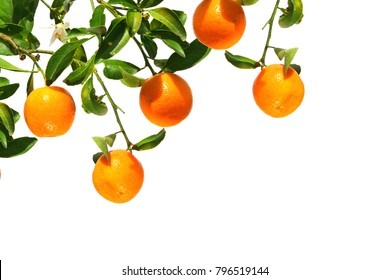 Oranges on a branch. Citrus fruits growing on tree. Isolated on a white background