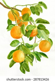 Oranges on a Branch.  Watercolor painting, illustration, of oranges growing on a branch of an orange tree with a white background.