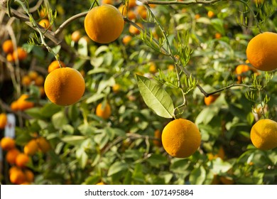 Oranges on the branches