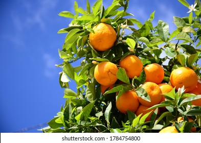 Oranges on the orange tree hanging from a branch in Valencia Spain with blue sky on a background.