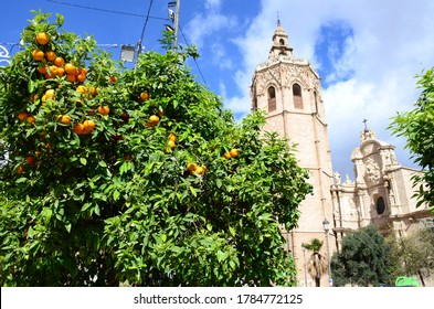 Oranges on the orange tree hanging from a branch in Valencia Spain with the  Metropolitan Cathedral–Basilica in the background.