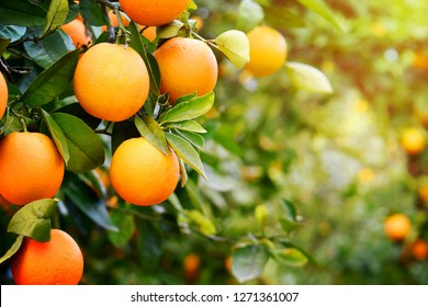Oranges on the plant before harvesting.