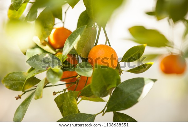 Oranges on the tree. Orange tree with fruits and leaves.