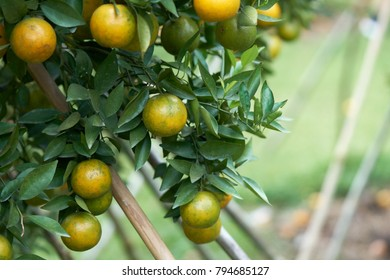 Oranges with orange fruit are planted in the midst of the orange groves located in high altitude conditions that are cold, suitable for growth and yield.