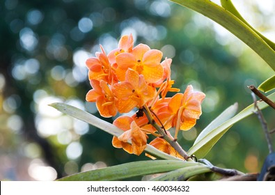 oranges orchid beautiful in garden,Thai Orchid