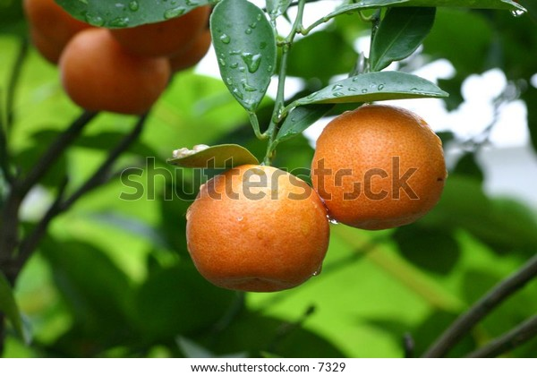 oranges ready to be plucked