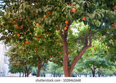 Oranges in Seville