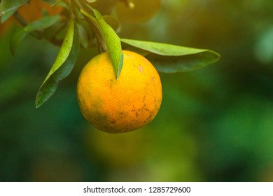 Oranges / Tangerine sunny garden with green leaves and ripe fruits, Chiang Mai, Thailand. Close up of Mandarin orchard orange with ripening citrus fruits. Natural outdoor food background