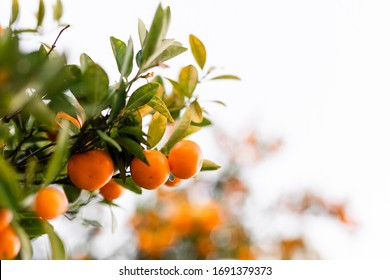 Oranges in a tree with leaves