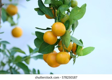 oranges tree. nature