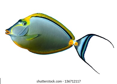 Orangespine unicornfish (Naso elegans) isolated on white background.