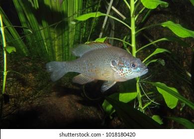 Orange-spotted Sunfish (Lepomis humilis) - captive in aquarium.