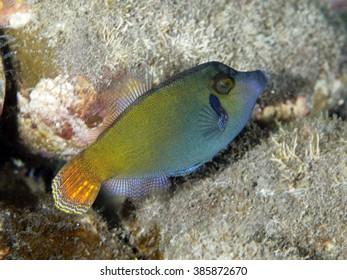 Orangetail filefish in Bali sea, Indonesia