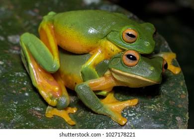 Orange-thighed frog (Litoria xanthomera), a species of tree frog restricted to Far North Queensland, in amplexus. Kuranda, Queensland, Australia.