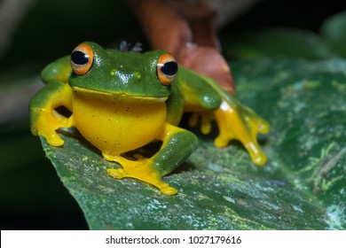 Orange-thighed frog (Litoria xanthomera), a species of tree frog restricted to Far North Queensland. Kuranda, Queensland, Australia.