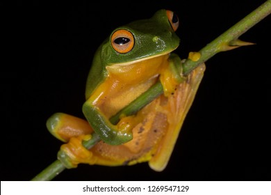 Orange-thighed tree frog (Litoria xanthomera). Kuranda, Queensland, Australia.