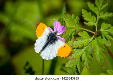 An Orange-tip butterfly on the flower of Herb Robert