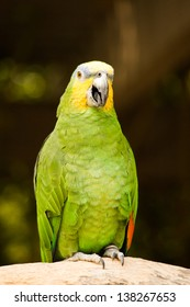 Orange-Winged Amazon Parrot at the Omaha Zoo
