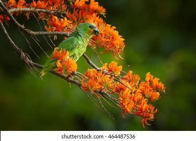 Orange-winged Parrot, Amazona amazonica, green parrot feeding on bright orange flowers of Immortelle tree, Erythrina poeppigiana. Wildlife of Tobago island, Trinidad and Tobago.