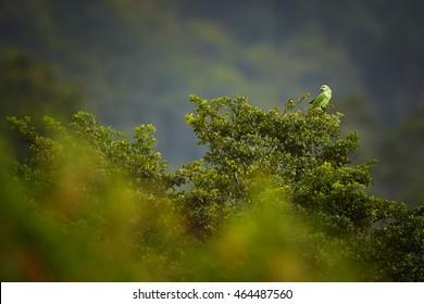 Orange-winged Parrot, Amazona amazonica perched on far treetop. Impressive rainforest, typical environment of Arima Valley, Trinidad, Trinidad  and Tobago.