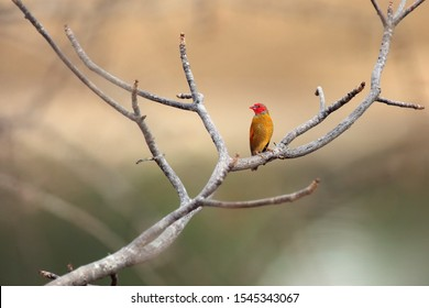 The orange-winged pytilia (Pytilia afra), also known as the golden-backed pytilia  sitting on a branch with the sand bank of a river in the background. Waxbills bird with a red head on a branch.