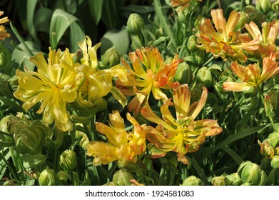 Orange-yellow multi-flowered Double Late tulips (Tulipa) Fruitcocktail bloom in a garden in April