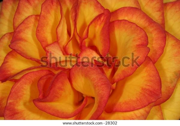 An orange/yellow petaled rose...