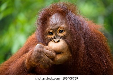 the orangutan.