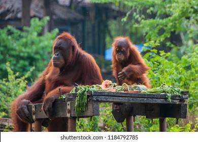 orangutan activity at the zoo