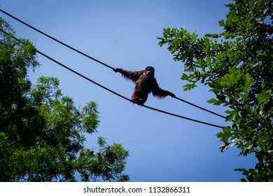 orangutan in the air between trees